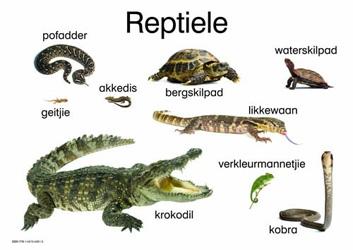 Reptiele: Graad R: Plakkate